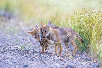 Montana, Red Rock Lakes National Wildlife Refuge, Two Coyote Pups Play with a Clump of Grass-Elizabeth Boehm-Photographic Print