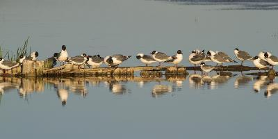 Montana, Red Rock Lakes Nwr, Franklyns Gulls and One Foresters Tern-Elizabeth Boehm-Photographic Print