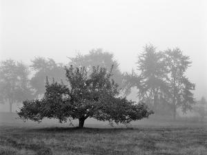 Apple Tree, Southfield, Michigan 85 by Monte Nagler