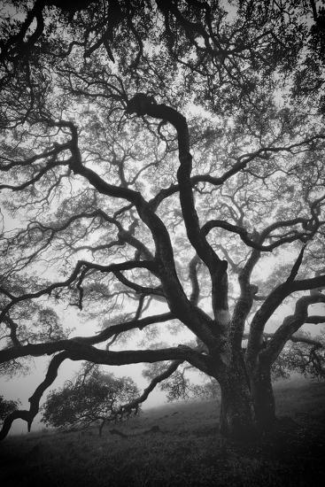 Mood Tree, Oak in Winter in Black and White, Sonoma Couny, Northern California-Vincent James-Photographic Print