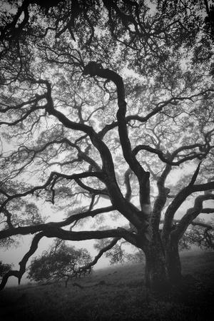 https://imgc.artprintimages.com/img/print/mood-tree-oak-in-winter-in-black-and-white-sonoma-couny-northern-california_u-l-q10dk1g0.jpg?p=0