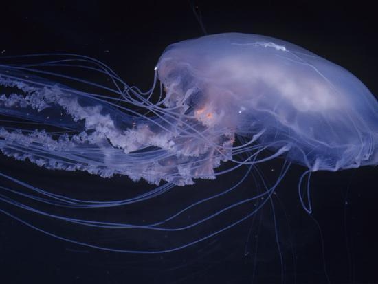 Moon Jelly (Aurelia Aurita), Temperate Seas Worldwide-Ken Lucas-Photographic Print