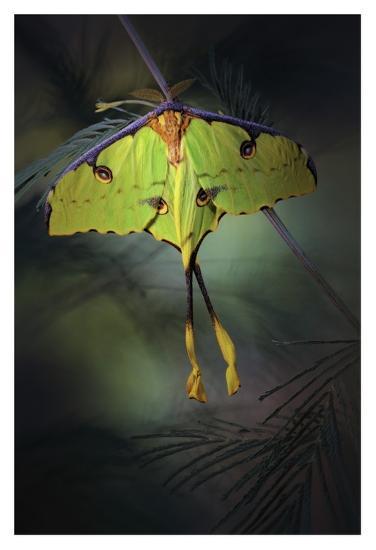 Moon Moth-Jimmy Hoffman-Giclee Print