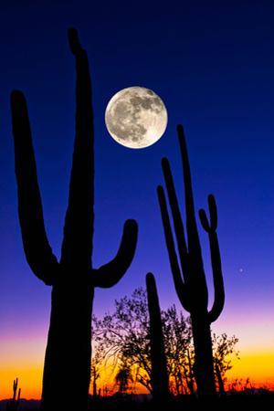 Moon over Saguaro Cactus (Carnegiea Gigantea), Tucson, Pima County, Arizona, USA