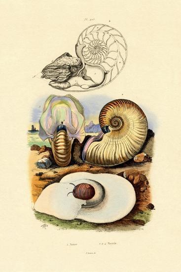 Moon Snail, 1833-39--Giclee Print