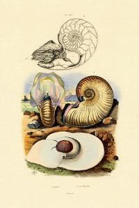 Moon Snail, 1833-39