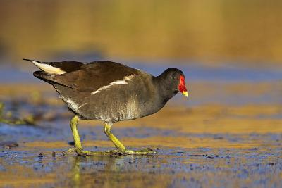 Moorhen Walking on Thin Ice in Early Morning--Photographic Print