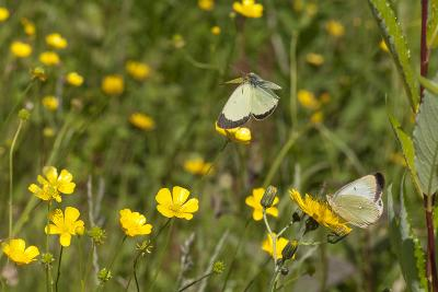 Moorland Clouded Yellow Butterfly (Colias Palaeno) Male And Female-Jussi Murtosaari-Photographic Print