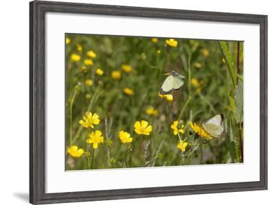 Moorland Clouded Yellow Butterfly (Colias Palaeno) Male And Female-Jussi Murtosaari-Framed Photographic Print