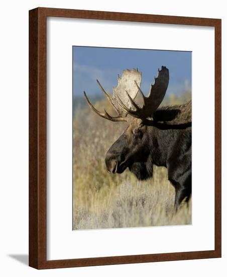 Moose (Alces Alces) Bull, Grand Teton National Park, Wyoming, USA-Rolf Nussbaumer-Framed Photographic Print