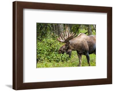 Moose (Alces alces), Kenai Peninsula, Alaska, USA.-Michael DeFreitas-Framed Photographic Print