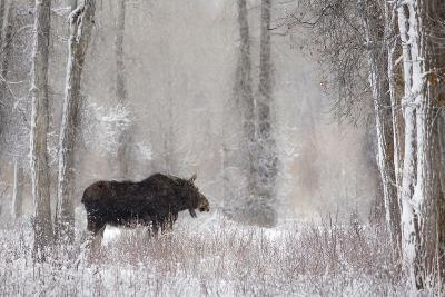 Moose Among Cottonwood And Willow Trees During A Snow Storm, Grand Teton National Park, Wyoming-Mike Cavaroc-Photographic Print