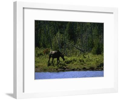 Moose at Shore of Hidden Lake on Isle Royale National Park, Michigan-Phil Schermeister-Framed Photographic Print