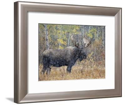 Moose Bull in Snow Storm with Aspen Trees in Background, Grand Teton National Park, Wyoming, USA-Rolf Nussbaumer-Framed Photographic Print
