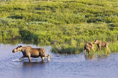 Moose Cow and Twin Calves Wading in Pond at Grassy Pass Denali National Park Interior Alaska Summer-Design Pics Inc-Photographic Print