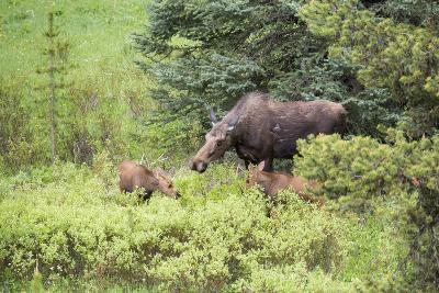 Moose Cow Caring For Her Twins, Yellowstone National Park, Wyoming-Mike Cavaroc-Photographic Print