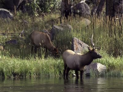 Moose in Yellowstone River, Yellowstone National Park, WY-Bruce Clarke-Photographic Print