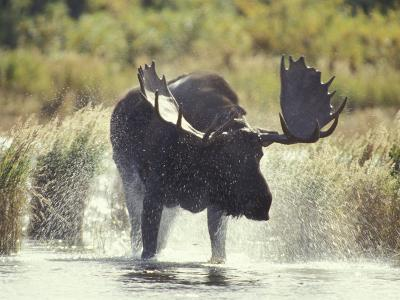 Moose Shower in Katmai National Park, Alaska, USA-Howie Garber-Photographic Print