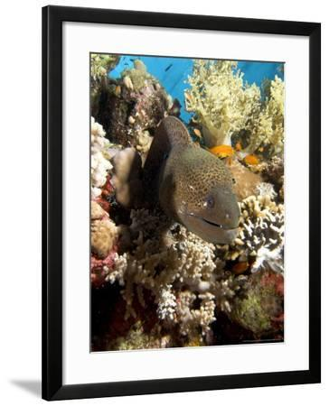 Moray in Coral, Red Sea-Mark Webster-Framed Photographic Print