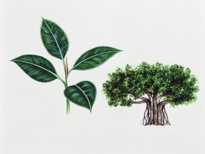 Moreton Bay Fig (Ficus Macrophylla), Moraceae, Tree and Leaves--Giclee Print