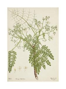 Moringa Oleifera Lam, 1800-10