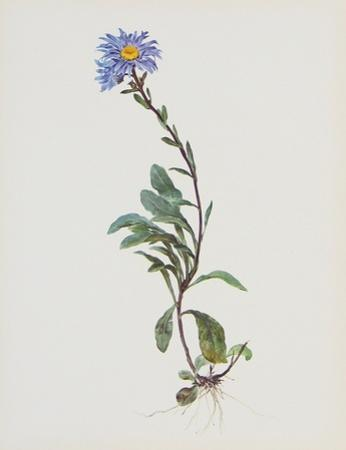 Berg-Sternblume
