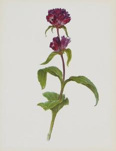 Dreary Purple Gentian by Moritz Michael Daffinger
