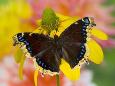 Morning Cloak North American Butterfly-Darrell Gulin-Photographic Print