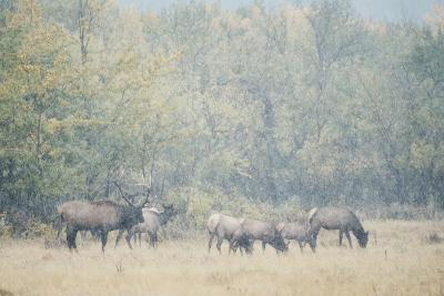 Morning Elk-Roberta Murray-Photographic Print