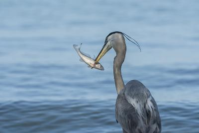 Morning Fish Catch by Great Blue Heron, with Water Splashes-Sheila Haddad-Photographic Print
