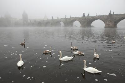 Morning Fog over Swimming Swans and the Charles Bridge in Prague, Czech Republic.-wrangel-Photographic Print