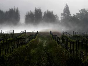 Morning Fog Rises from a Vineyard North of Sonoma, Calif.