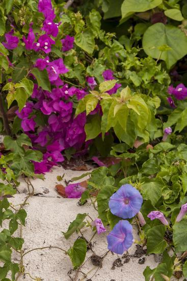 Morning Glory and Bougainvillea Flowers, Princess Cays, Eleuthera, Bahamas-Lisa S^ Engelbrecht-Photographic Print