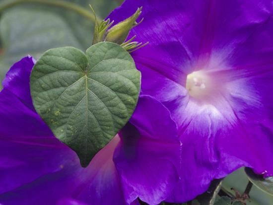 Morning Glory Vine, Maui, Hawaii, USA-Julie Eggers-Photographic Print