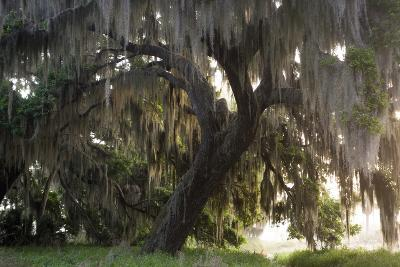 Morning Light Illuminating the Moss Covered Oak Trees in Florida-Sheila Haddad-Photographic Print