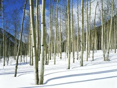Morning Light on Aspen Grove in Winter, Colorado, USA-Willard Clay-Photographic Print