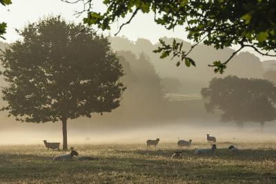 Morning Mist, Sheep Feeding, Eden Valley, Cumbria, England, United Kingdom, Europe-James Emmerson-Photographic Print