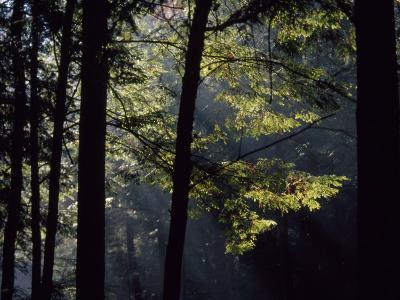 Morning Sun Peaks Through Hemlock Trees Along Paint Creek-Raymond Gehman-Photographic Print