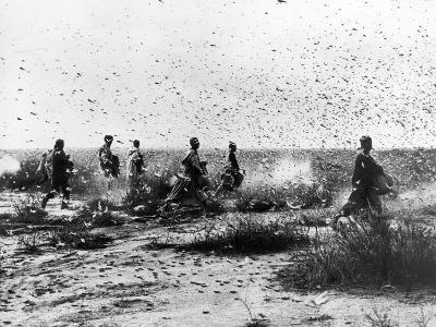 Morocco: Locusts, 1954--Photographic Print
