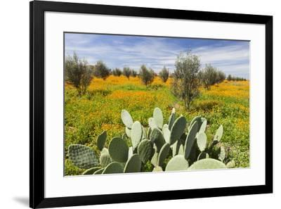 Morocco, Marrakech. Springtime landscape of flowers, olive trees and giant prickly pear cactus.-Brenda Tharp-Framed Premium Photographic Print