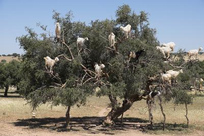 Morocco, Road to Essaouira, Goats Climbing in Argan Trees-Emily Wilson-Photographic Print