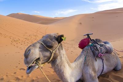 Morocco, Sahara Desert Sand Dunes Close Up of Camel for Rides-Bill Bachmann-Photographic Print