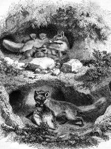 The Fox Burrow, Vintage Engraved Illustration. Magasin Pittoresque 1867. by Morphart
