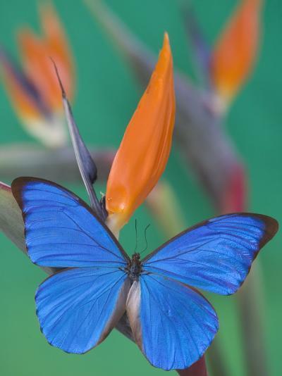 Morpho Anaxibia Butterfly on Flowers-Darrell Gulin-Photographic Print