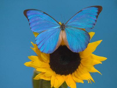 https://imgc.artprintimages.com/img/print/morpho-anaxibia-butterfly-on-flowers_u-l-p844tv0.jpg?p=0