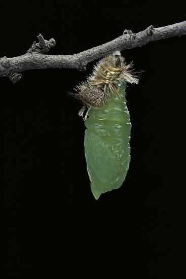 Morpho Peleides (Blue Morpho) - Caterpillar Pupating-Paul Starosta-Photographic Print