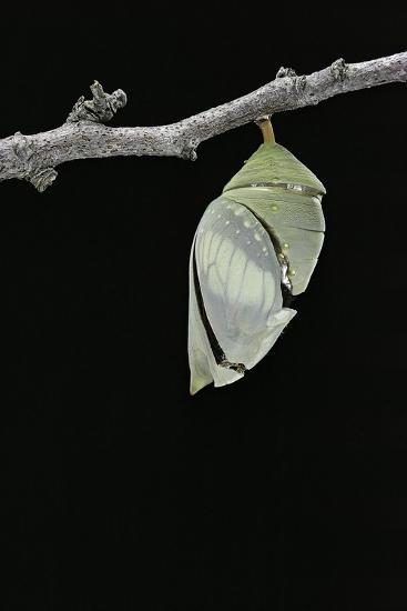Morpho Peleides (Blue Morpho) - Emerging from Pupa-Paul Starosta-Photographic Print