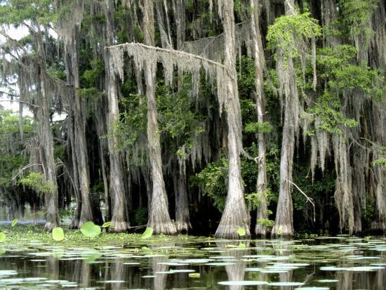 Moss Covered Bald Cypress Trees, Caddo Lake, TX-Ray Hendley-Photographic Print