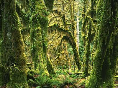Moss covered Bigleaf Maples, Hoh Rain Forest, Olympic National Park, Washington, USA-Charles Gurche-Photographic Print