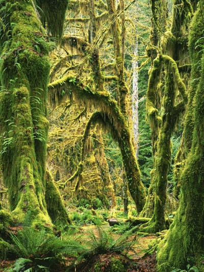 Moss covered Bigleaf Maples, Hoh Rain Forest, Olympic National Park, Washington, USA-Charles Gurche-Photographic Print
